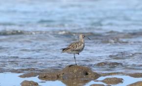 La biodiversidad de la Bahía de El Confital: Zarapito trinador
