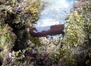 La biodiversidad de la Bahía de El Confital: Holoturia (pollaburro)