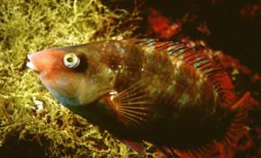 La biodiversidad de la Bahía de El Confital: El barraco (Especie casi extinguida)