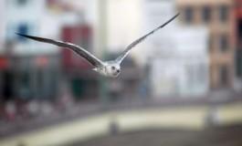 Gaviota en pose fotográfica voladora.