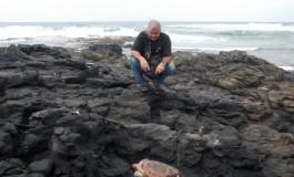 Que pena, aparece muerta una tortuga entre las piedras de Punta Salinas en El Confital.