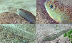 """La maravillosa vida que esconden los fondos de la Playa de Las Canteras """" Amenaza bajo la arena"""""""