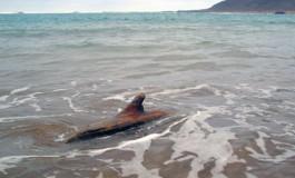 Peligro ¡¡¡ un tiburón de madera acecha en la orilla de Las Canteras.