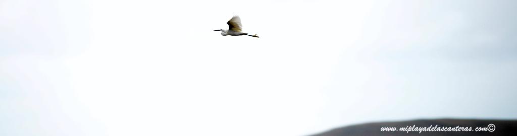 Garceta en vuelo