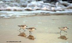 La biodiversidad de la Bahía de El Confital: El correlimos tridáctilo