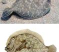 Nuestros peces-El tapaculo (Bothus podas maderensis)