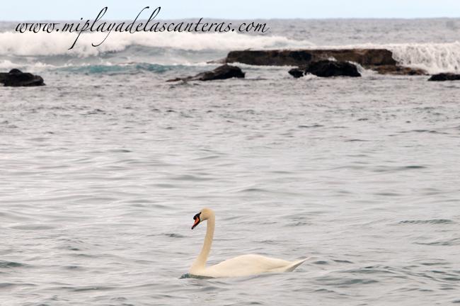 Un cisne surfero en la playa de Las Canteras/El cisne de Las Canteras se convierte en un personaje mediático gracias a www.miplayadelascanteras.com