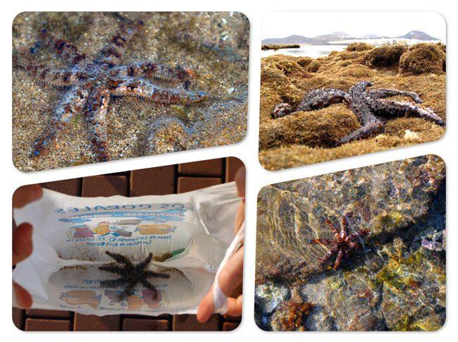 La biodiversidad de la Bahía de El Confital: Estrella de brazos múltiples