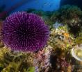 ¿Están los erizos de colores de Las Canteras en peligro de extinción?