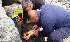 Rescatan a una tortuga herida en El Lloret