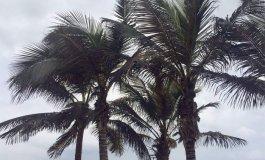 El pulgón amenaza a las palmeras de Las Canteras