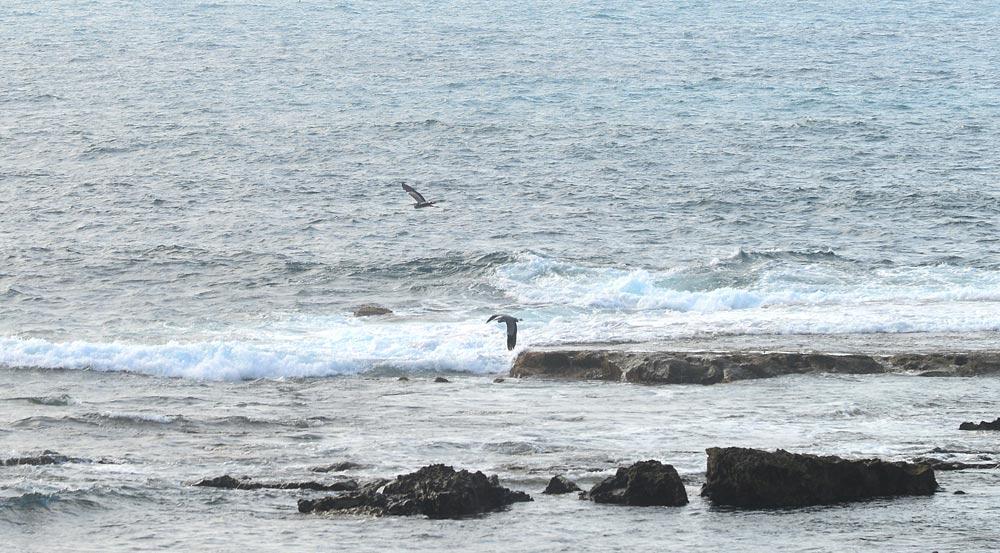 Dos garzas grises sobrevuelan la Barra