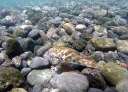 La biodiversidad de la Bahía de El Confital: El tamboril