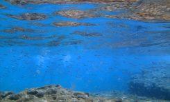 La biodiversidad de la Bahía de El Confital: El guelde blanco o longorón