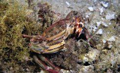 """Se estudia en Las Canteras la aparición del cangrejo """"Cronius ruber"""". Candidato a ser especie invasora"""