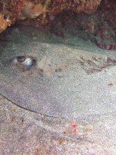 """Se publica en la revista científica """"Regional studies in marine science"""" un artículo sobre los elasmobranquios de Las Canteras"""