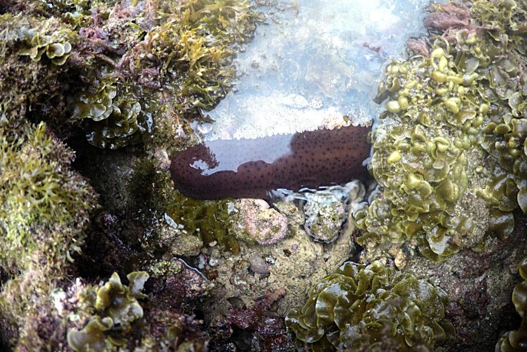 La biodiversidad de la Bahía de El Confital: Holoturia o «pollaburro»