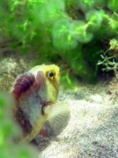 Nuestros peces: la vieja (Sparisoma cretense)