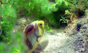 Nuestros peces. La vieja (Sparisoma cretense)
