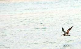 El zarapito nunca se cansa de cantar y volar entre nuestras rocas.