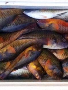 Recipe. Boiled fish