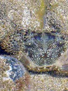 """Nuestros invertebrados marinos: La jaca""""peluda"""" (Eriphia verrucosa)"""