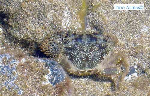 Nuestros invertebrados marinos: La jaca»peluda» (Eriphia verrucosa)