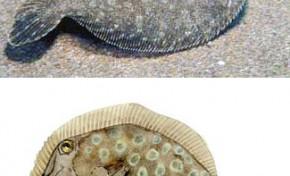 Nuestros peces. El tapaculo (Bothus podas maderensis)