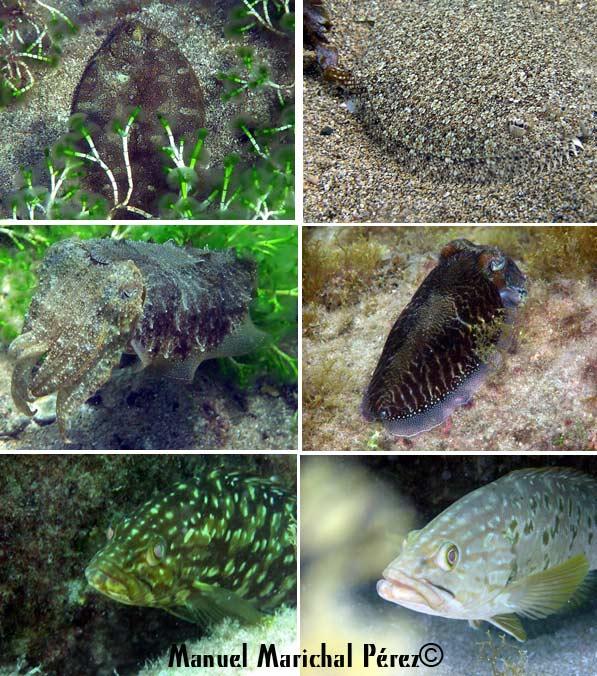 La maravillosa vida que esconden los fondos de la Playa de Las Canteras «Maestros del camuflaje»