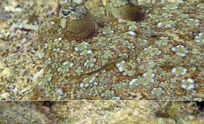 """La maravillosa vida que esconden los fondos de la Playa de Las Canteras """"Ojos en la arena""""."""