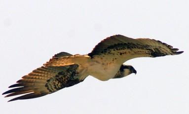 Una águila pescadora sobrevoló y pescó en Las Canteras este Viernes Santo, esta especie no anida en Gran Canaria