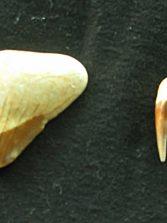 El diente de Carcharodón Megalodon en la Bahía de El Confital