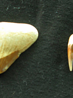 Un diente de Carcharodón Megalodon en la Bahía de El Confital
