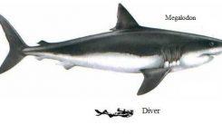 El Instituto Español de Oceanografía (IEO) confirma la presencia en Canarias de fósiles de megalodón, el tiburón más grande que ha existido