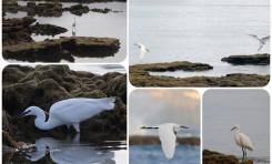 La biodiversidad de la Bahía de El Confital: Garceta Común