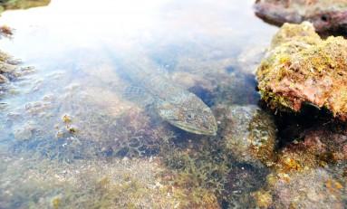 La biodiversidad de la Bahía de El Confital: Lagarto
