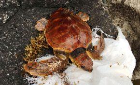 El acuario Poema del Mar devolverá el lunes 7 de enero una tortuga al mar en Las Canteras