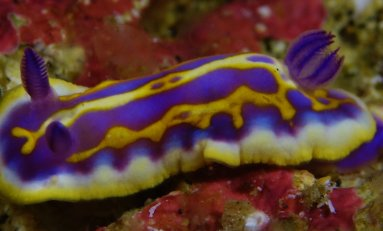 Nudibranquios, belleza desconocida
