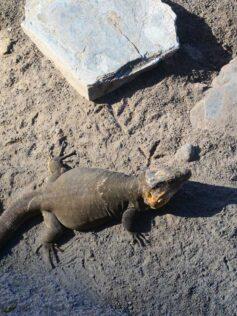 Los reptiles de Las Canteras