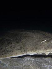 Los bañistas pueden causar escoliosis al tiburón ángel en Canarias