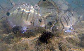 Los peces son capaces de oler los virus