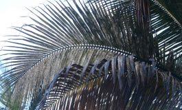 Los cocoteros de Las Canteras están moribundos, sin poder de recuperación