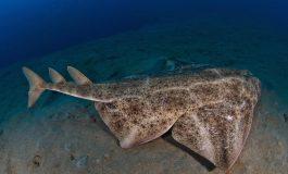 Primer estudio del proyecto sobre la ecología del Angelote, uno de los tiburones más amenazados de Europa