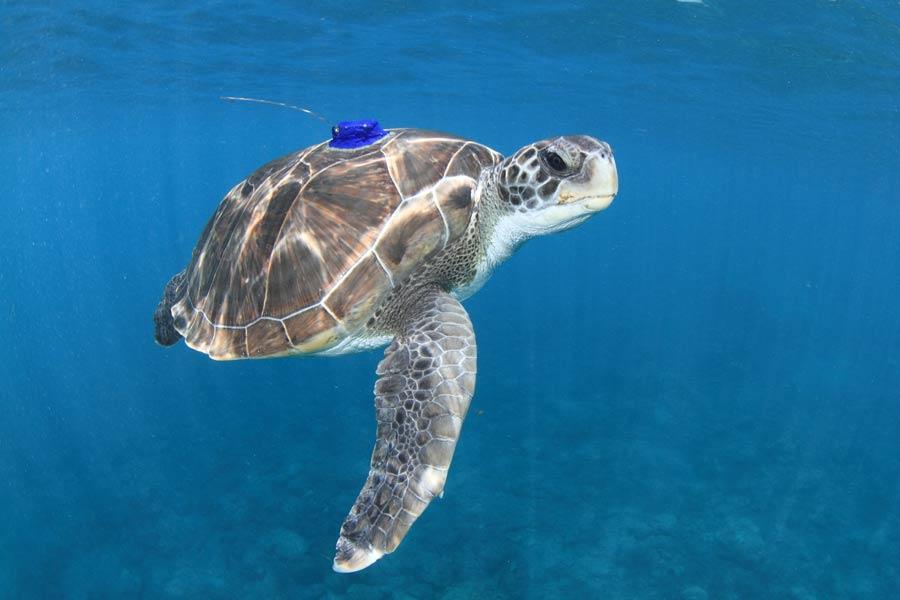 La Ulpgc investiga sobre las amenazas para la tortuga verde en Canarias