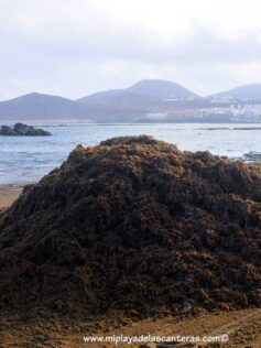 Investigadores de la ULPGC estudian la radioactividad natural presente en algas que llegan a las costas de Canarias