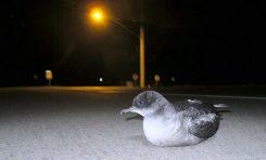La contaminación lumínica, riesgo para el primer vuelo de las crías de pardelas