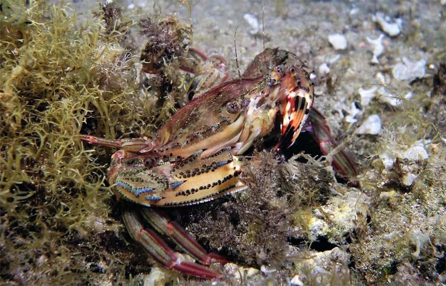 Se estudia en Las Canteras la aparición del cangrejo «Cronius ruber». Candidato a ser especie invasora