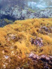 Investigadores de la ULPGC han analizado la desaparición masiva de los bosques del alga parda