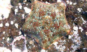 Descubren una nueva especie de estrella de mar en Canarias