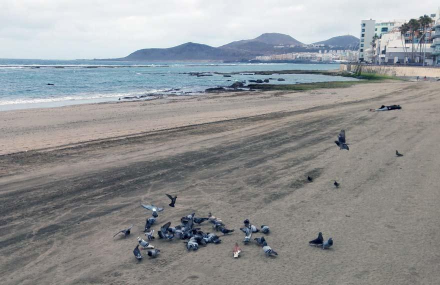 Invasión de palomas en Las Canteras